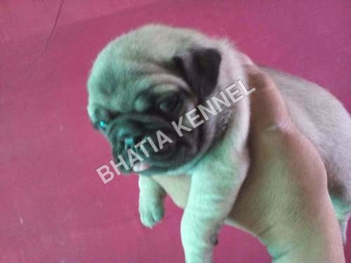 Pug Dog Breed
