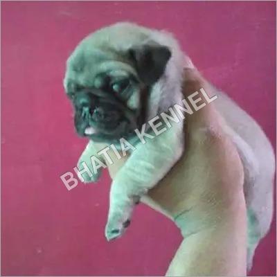Puppy Pug Dogs