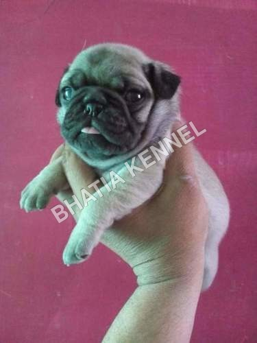 Puppy Pug Dogs Breed