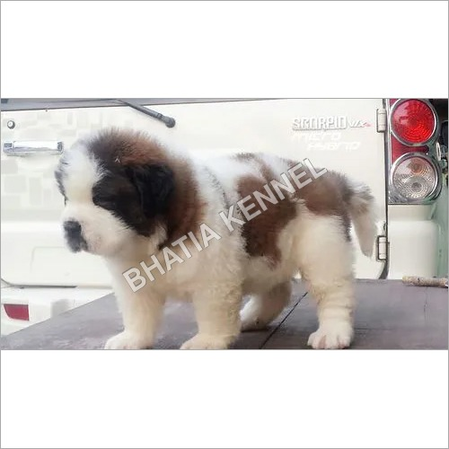 Cute Saint Bernard