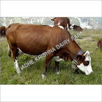 Dairy Karan Swiss Cow