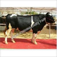 Dairy Hf Bull