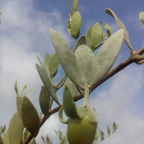 Jojoba Fruit Seed