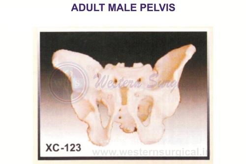 Adult Male Pelvis