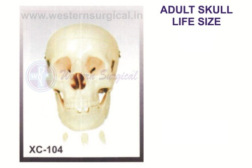 Adult Life-Size Skull