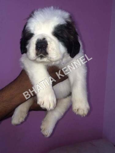 Cute Baby Saint Bernard Dog