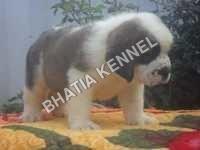 Baby Saint Bernard Dog