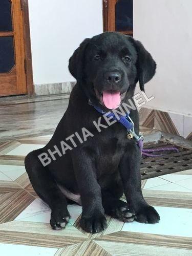 Labrador Retreiver Dogs
