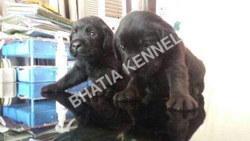 Labra Retriever Dog Breed