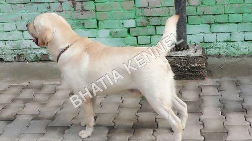 White Labrador Retreiver Dogs