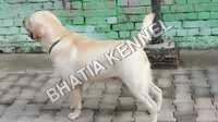 White Labrador Retreiver Dogs