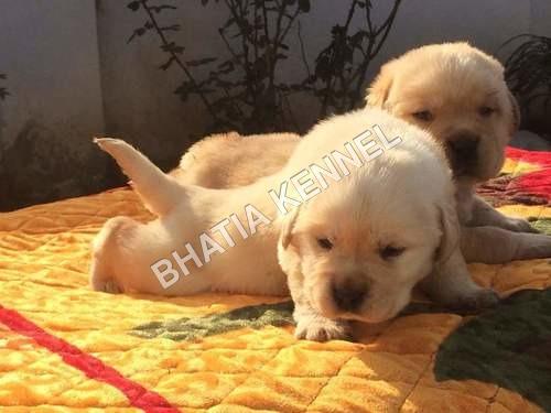 Labrador Retriever Breed Dog