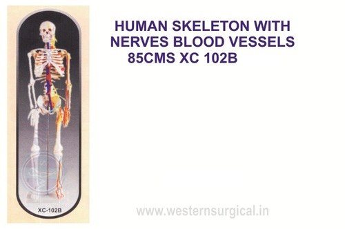 Medium Skeleton With Nerves and blood vessels 85 cm tall