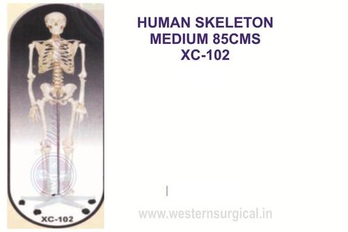 Humun Anatomical Models and Charts