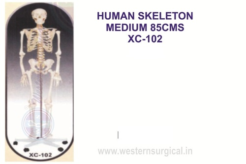 Medium Skeleton 85 cm tall