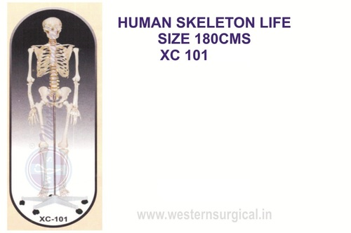Life-Size Skeleton 170 cm tall