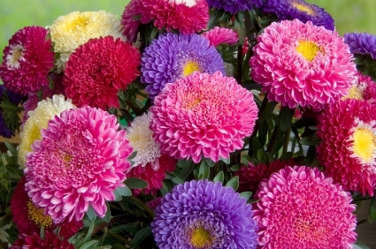 Aster Giant Mix Seeds