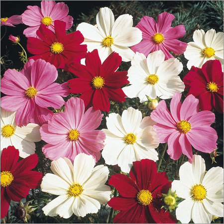 Cosmos Sensation Seeds