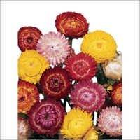 Helichrysum Seeds