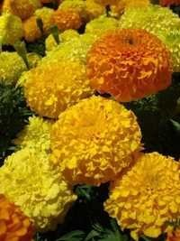 Marigold African Mix Showing Seeds