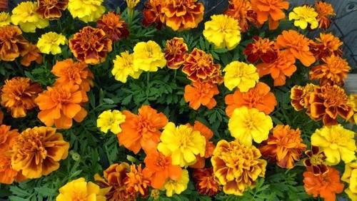 Marigold French Dwarf Mix Seeds