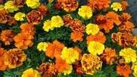 Marigold French Dwarf Mix Seeds