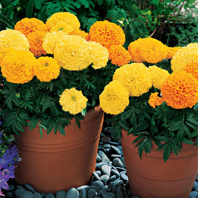 Marigold Inca Mix Seeds