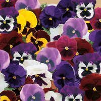 Pansy Giant Mix