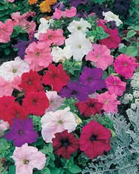 Petunia Single Grandiflora Mix