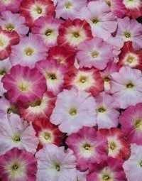 Petunia Single Multiflora Mix