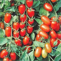 Tomato Cherry Seeds for sowing