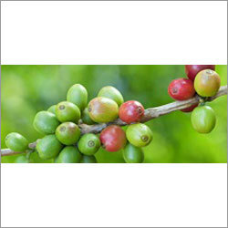 Coffee Beans Extract