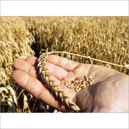 Wheat Grain Seeds