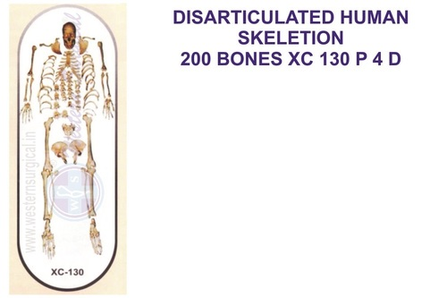 Disarticulated skeleton with skull