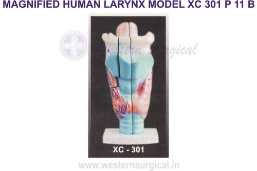 Magnified human larynx model