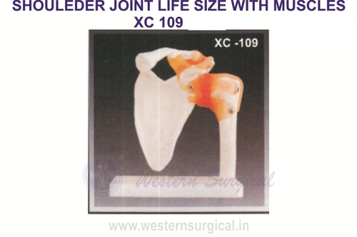 Life Size Shoulder Joint