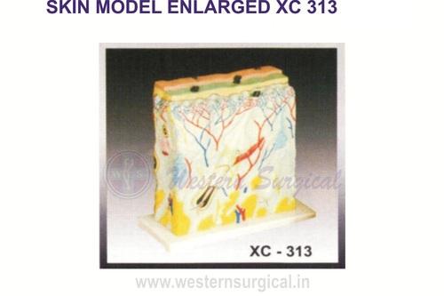 Skin Model Enlarged