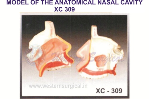 Model Of The Anatomy Of Nasal Cavity
