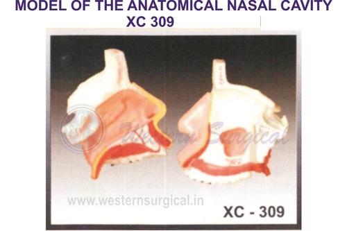 Model Of The Anatomy Of Nasal Cavity