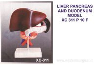 Liver, Pencreas And Duodenum Model