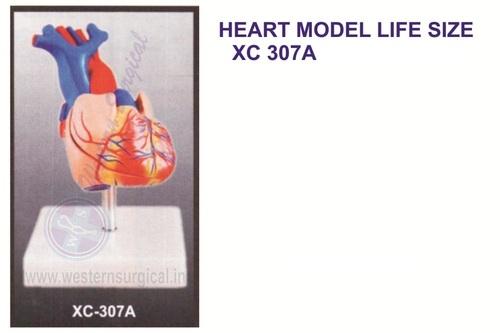 Life-Size Heart Model
