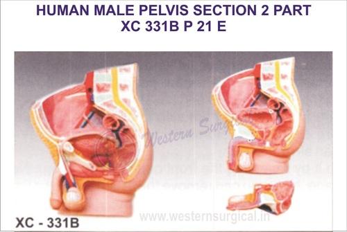 Human male pelvis section (2 parts)