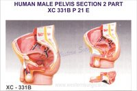 Human male pelvis section (2 parts)