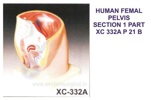 Human Female Pelvis Section (1 Parts)