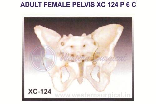 ADULT FEMALE PELVIS