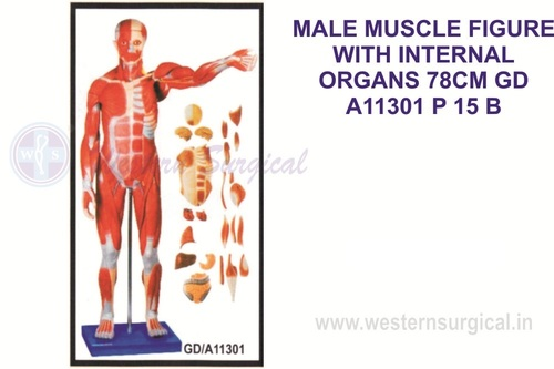 Male muscle figure 86 cms