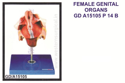Famale Genital Organs
