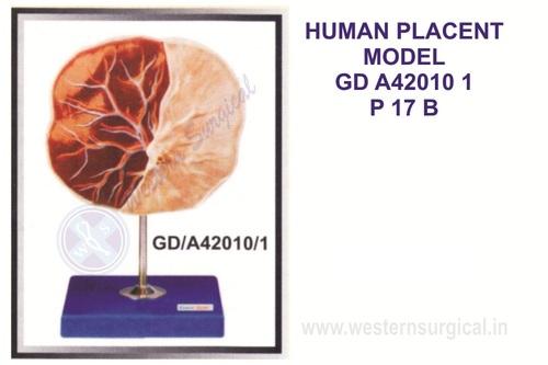 Human placenta