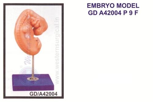 Embryo model
