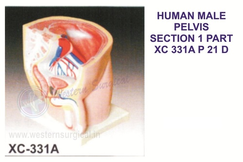 Human Male Pelvis Section